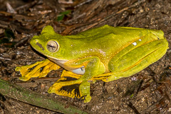 Wallace's Tree Frog