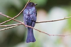 Square-tailed Drongo Cuckoo