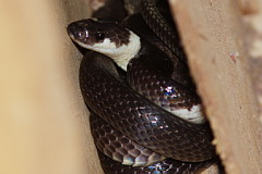 White-banded Wolf Snake