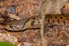 Yellow-spotted Keelback Water Snake