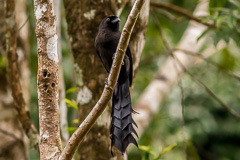 Ratchet-tailed Treepie