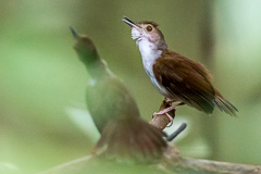 White-chested Babbler displaying