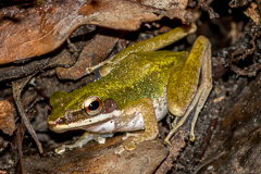 White-lipped Frog