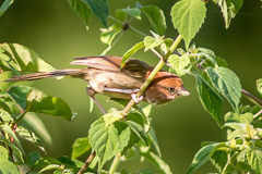 Brown-winged Parrotbill