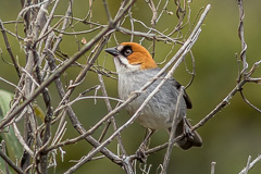 Apurimac Brushfinch