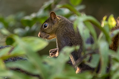 Bolivian Squirrel