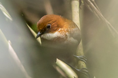 Red-and-white Antpitta