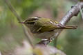 Chinese Leaf Warbler Phylloscopus yunnanensis (La Touche's Leaf Warbler)