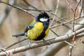 Green-backed Tit Parus monticolus yunnanensis