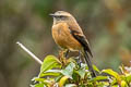 Brown-backed Chat-Tyrant Ochthoeca fumicolor ferruginea