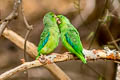 Green-rumped Parrotlet Forpus passerinus cyanophanes