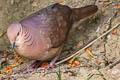 Lined Quail-Dove Zentrygon linearis