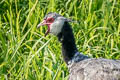 Northern Screamer Chauna chavaria