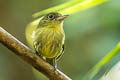 Olivaceous Flatbill Rhynchocyclus olivaceus tamborensis