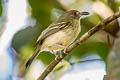 Southern Bentbill Oncostoma olivaceum