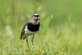 Southern Lapwing Vanellus chilensis cayennensis