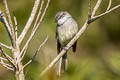 White-throated Tyrannulet Mecocerculus leucophrys montensis