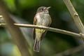 White-throated Tyrannulet Mecocerculus leucophrys setophagoides
