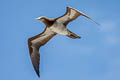 Brown Booby Sula leucogaster plotus