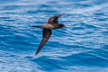 Wedge-tailed Shearwater Puffinus pacificus
