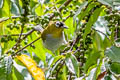 Black-crowned White-eye Zosterops atrifrons atrifrons