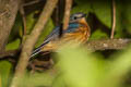 Sulawesi Blue Flycatcher Cyornis omissus