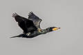 Great Cormorant Phalacrocorax carbo sinensis
