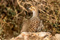 Grey Francolin Francolinus pondicerianus interpositus