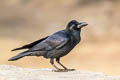 Indian Jungle Crow Corvus culminatus