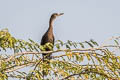 Little Cormorant Microcarbo niger