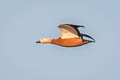 Ruddy Shelduck Tadorna ferruginea