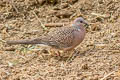 Spotted Dove Spilopelia chinensis suratensis
