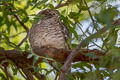 Spotted Owlet Athene brama indica