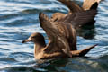 Flsh-footed Shearwater Puffinus carneipes