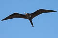 Great Frigatebird Fregata minor palmersoni