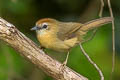 Buff-chested Babbler Stachyridopsis ambigua adjuncta