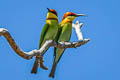 Chestnut-headed Bee-eater Meops leschenaulti leschenaulti