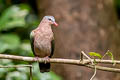 Common Emerald Dove Chalcophaps indica indica