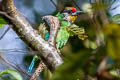 Golden-throated Barbet Psilopogon franklinii ramsayi