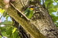 Golden-whiskered Barbet Psilopogon chrysopogon laetus