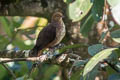 Little Cuckoo-Dove Macropygia ruficeps assimilis