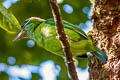 Moustached Barbet Psilopogon incognitus eurous