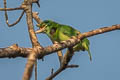 Moustached Barbet Psilopogon incognitus elbeli