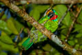 Red-throated Barbet Psilopogon mystacophanos mystacophanos