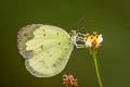 Common Grass Yellow Eurema hecabe hecabe