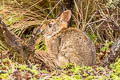 Brazilian Rabbit Sylvilagus brasiliensis (Forest Rabbit)