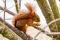 Red-tailed Squirrel Sciurus granatensis