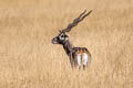 Blackbuck Antilope cervicapra