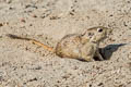 Indian Desert Jird Meriones hurrianae (Indian Desert Gerbil)