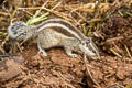 Northern Palm Squirrel Funambulus pennantii (Five-striped Palm Squirrel)